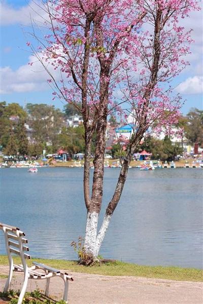 Một gốc anh đào mọc cạnh hồ Xuân Hương