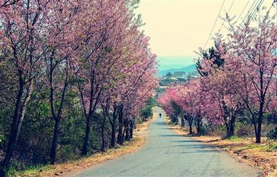 Mùa hoa mai anh đào Đà Lạt năm nay