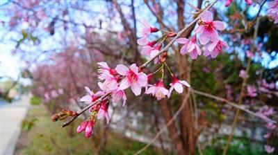 Mai anh đào bừng rộ sắc hồng, báo tin cho những kẻ 'say' Đà Lạt đã đến mùa 'săn hoa' 1