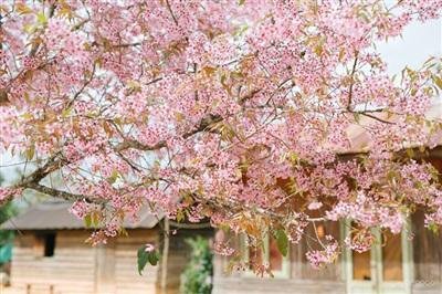 Mai anh đào bừng rộ sắc hồng, báo tin cho những kẻ 'say' Đà Lạt đã đến mùa 'săn hoa' 2