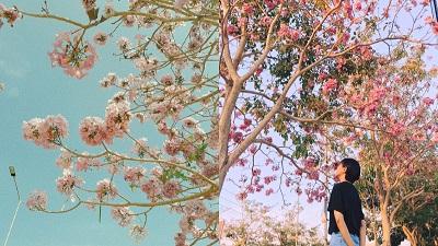 Kèn hồng ở Sóc Trăng nở rộ, đẹp xao xuyến tựa như phim Hàn
